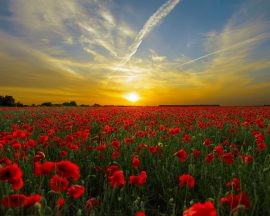 sunset-field-poppy-sun-priroda (1)